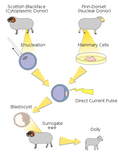 Applying Somatic Cell Nuclear Transfer in the Creation of Dolly the Cloned