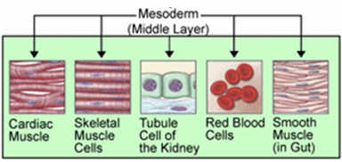 Mesoderm