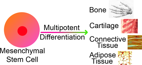 Multipotent